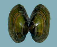 exterior view  periostracum greenish, shell thin; shape elongate, sub-elliptical to sub-ovate