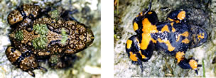 Dorsal (left) and ventral (right) views of Bombina microdeladigitora, the Yunnan Firebelly Toad. Raoul Bain