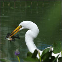 Great egret fishing in Central Park