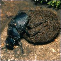 Dung beetles are important nutrient recyclers of the forest floor. Sacha Spector