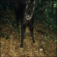 Photo of a Saola taken with a camera trap. © European Commission - Social Forestry and Nature Conservation