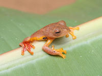 A red-webbed treefrog