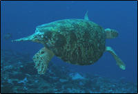 Green sea turtle Palmyra Atoll