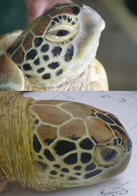 The unique pattern formed by the shells on a turtle's head