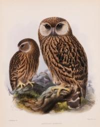 Laughing Owl, Sceloglaux albifacies by John G. Keulemans, from Ornithological Miscellany, Vol. 1 by George Dawson Rowley, London,1875. (AMNH image no. 6253)