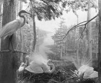 Diorama of American Egret Group, North American Bird Hall. (AMNH image no. 331854)