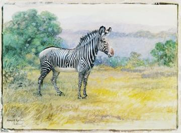 Grevy's zebra, watercolor painting by Charles R. Knight, 1901. (AMNH image no. 7222)