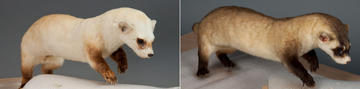 Blackfooted ferret, before and after recoloring