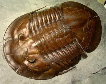 Fossil of an ancient marine arthropod called a trilobite