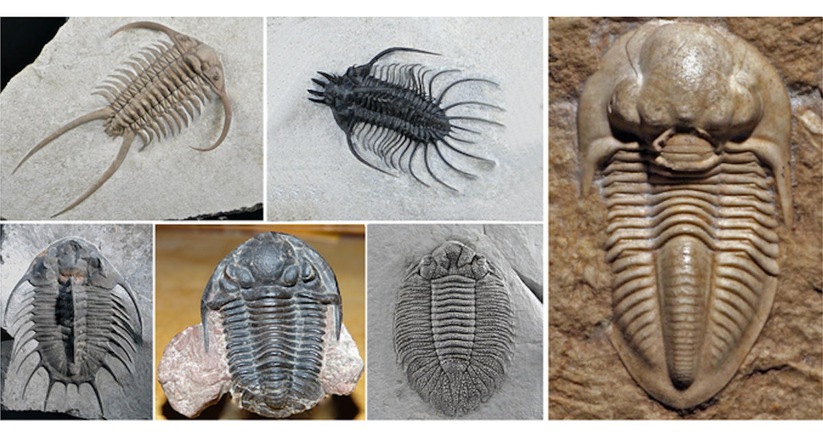American Museum Of Natural History Trilobites Website