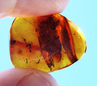 Insects in Amber-Grimaldi