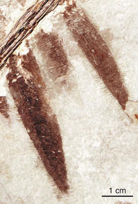 A close-up view of the well-preserved feather imprints on the Microraptor fossil (AMNH/M. Ellison)