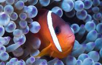 pygv_secret_oceans_clown_fish_rect
