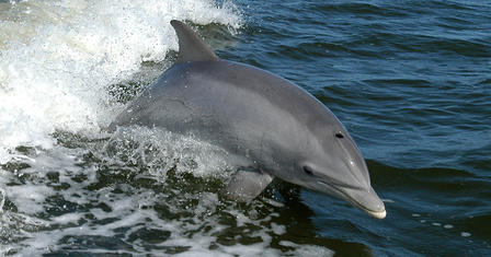 A bottlenose dolphin breaches in the wake of a boat