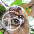 A pygmy slow loris looks at the camera with wide eyes, with the museum podcast logo overlaid on top.