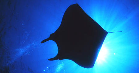 An underwater camera looks up towards the surface of the ocean with a giant Manta Ray in silhouette
