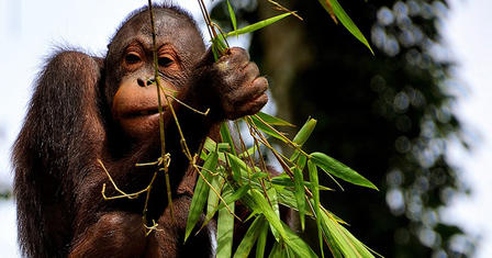 A young orangutan in Borneo sits on a tree holding and eating a stalk of leaves