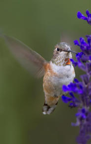 A Western hummingbird is making a rare appearance at the Museum. Above, the bird feeds on Museum flowers outside the 81st Street entrance. © David Speiser