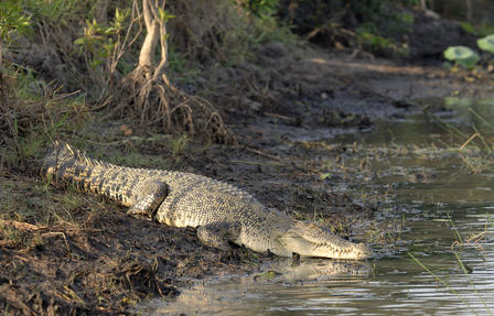 Saltwater Crocodile Photo