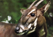 The critically endangered saola was discovered by scientists in Vietnam in 1992. © Toon Fey/WWF