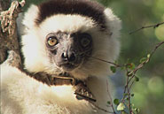 Scientists keep tabs on individual Verreaux's sifaka at Beza Mahafaly Special Reserve with tags and collars.Jason Lelchuk for AMNH