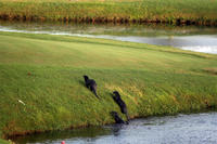 Otters enjoying the stream and golf course on the 16th green of the Bay Hill Golf Course.