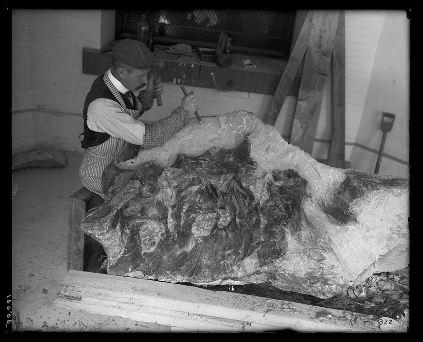 Preparing the T. rex pelvis.
