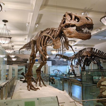 Today, the T. rex is a must-see exhibit for visitors from all over the world. © AMNH/C. Chesek