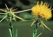 Yellow starthistles' inch-long spikes are a thorny nuisance to humans and can damage the eyes of grazing animals.Cindy Roche, www.forestryimages.org