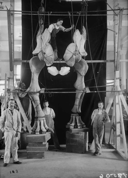 Museum preparators work on a mount of a dinosaur, then known as Brontosaurus, in 1904. ©AMNH Library/Image no. 17506