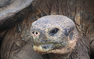 Museum Helps Preserve Iconic Tortoise Thumbnail