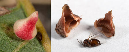 Two-part photo. Left: a red and white bell-shaped object on green leaf. Right: a winged insect on white surface between two halves of a now brown pod.