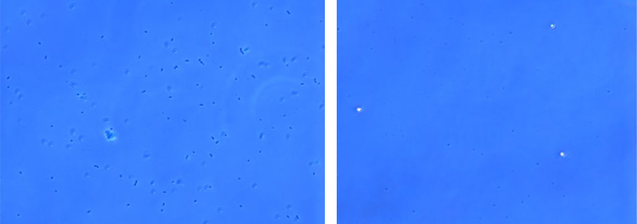 Side-by-side comparison of two blue culture samples, with the left sample showing a greater number of bacteria and the right, fewer.