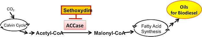 Figure 1: Simplified overview of the algae lipid metabolism pathway, showing sethoxydim's inhibitory role. Carbon dioxide is incorporated into acetyl-CoA following the Calvin cycle.The irreversible carboxylation of acetyl-CoA into malonyl-CoA catalyzed by ACCase is both the first committed step and the rate-limiting step of lipid biosynthesis. Immediately following this process, malonyl-CoA enters a series of dehydration and reduction reactions to synthesize free fatty acids. These fatty acids are processed to form a number of different lipids, of which the most desired for biofuel production are triacylglycerol (TAG) lipid bodies. Addition of sethoxydim to this system inhibits ACCase by occupying its active site and preventing binding of acetyl-CoA. This prevents formation of malonyl-CoA, arresting lipid synthesis.