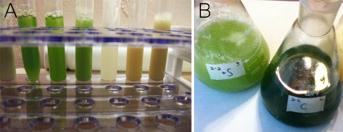 Figure 11: Visual impacts of sethoxydim treatments on algae cultures. (A) 10 ml cultures treated with serially increasing sethoxydim concentrations (from 0.02 mM to 400 mM, left to right). (B) 200 ml cultures, both 2 mM-sethoxydim-treated (left) and untreated (right). Sethoxydim-treated cultures demonstrated an accumulation of dead cells accompanied by a culture-wide yellowish coloration. With fatal doses, the culture color became entirely white or orange.