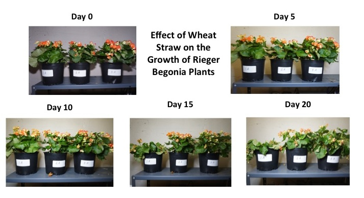 In these photos, 1A is the control group; 2A is the wheat straw group; 3A is the polymer group. These pictures show that the Rieger begonia plant begins to die off after day 7 in the control group; the wheat straw and polymer groups are still growing strong at day 7 and remain healthy even until day 21.
