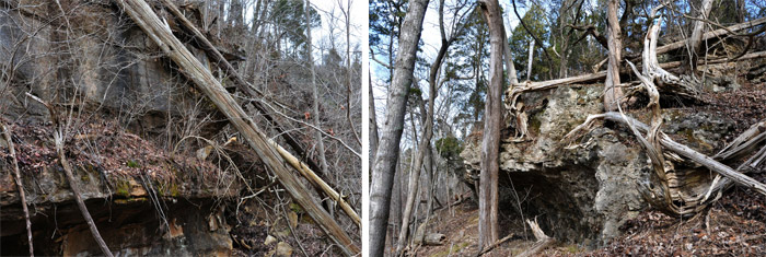 Figure 7: Cedar Falls Preserve cliffs with fallen northern white cedars (Thuja occidentalis)Figure 8: The Wilderness Preserve cliffs with both living and dead (fallen) northern white (Thuja occidentalis) and eastern red cedars (Juniperus virginiana)