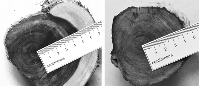 Figure 9 (left): Cross-section of a 108-year–old eastern red cedar (Juniperus virginiana) illustrating radius and growth rings. Figure 10 (right): Cross section of a 110-year-old northern white cedar (Thuja occidentalis) illustrating radius and growth rings.