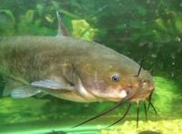 pic 1 brown bullhead catfish