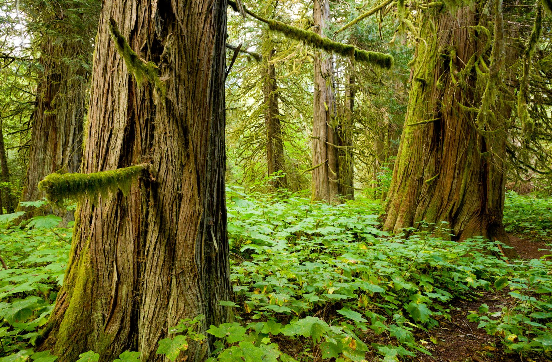 A forest of large, old cedar trees surrounded by forest floor vegetation.