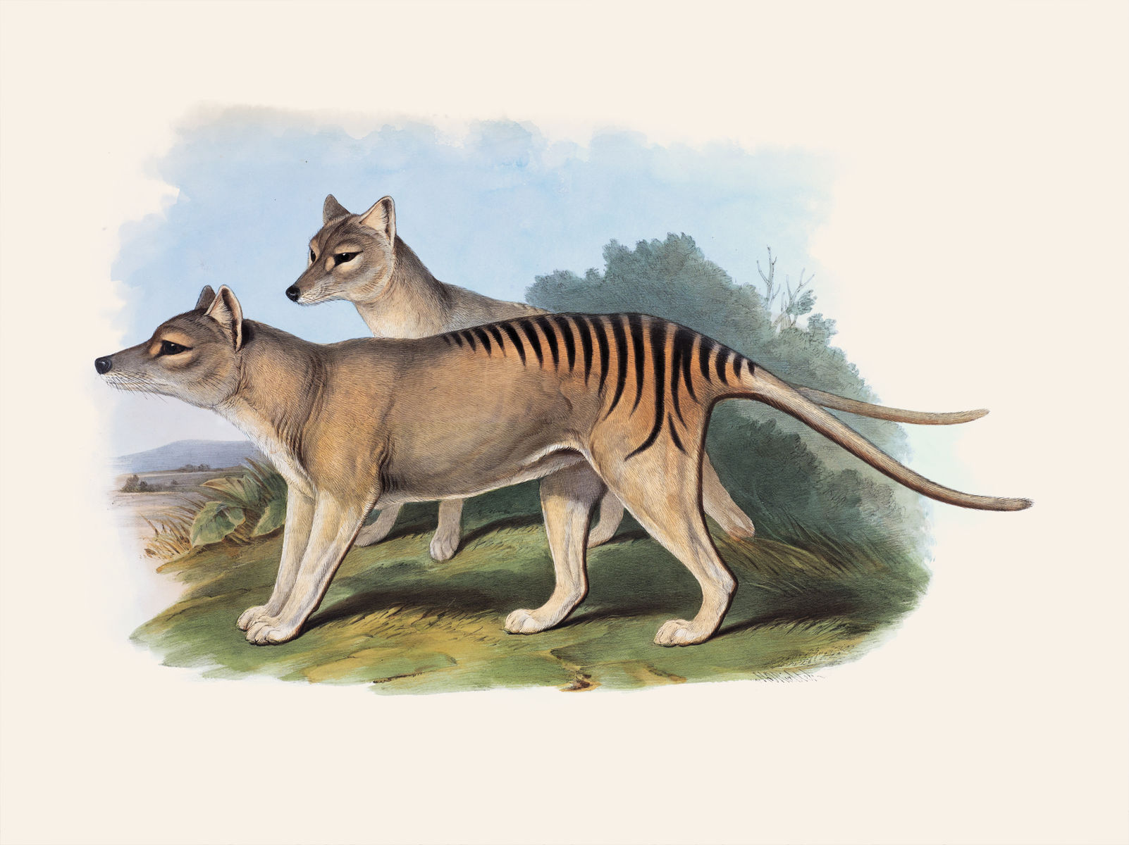 A drawing of the now-extinct Tasmanian tiger, or wolf. Shown as light grey or brown with dark stripes across its rear back. It was the world largest meat-eating marsupial.