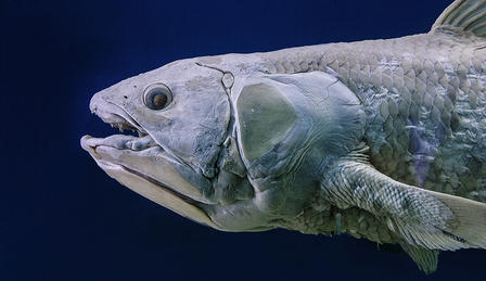 Detail of coelacanth, emphasis on head and teeth.