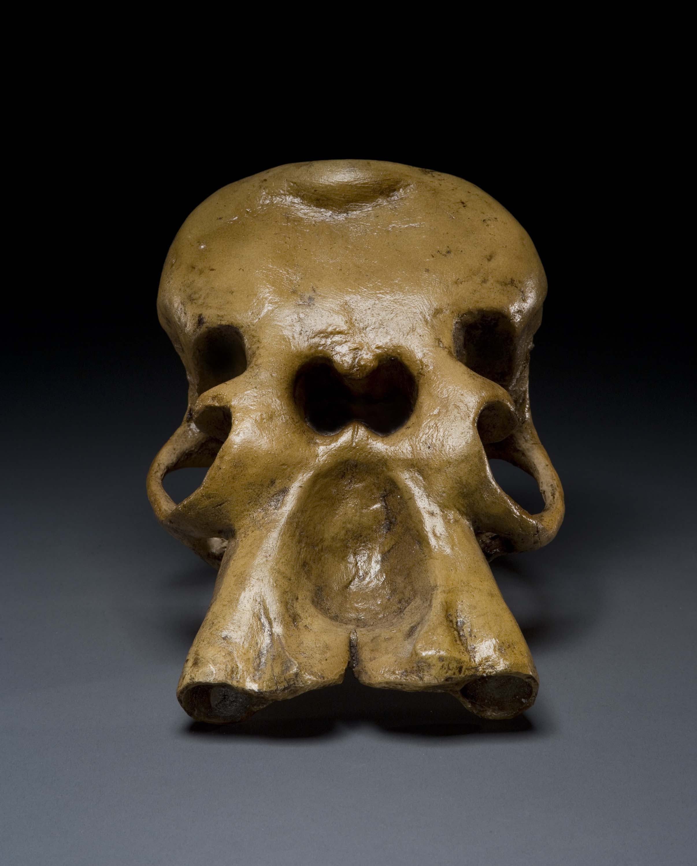 Cyclops Skull Natural History Museum