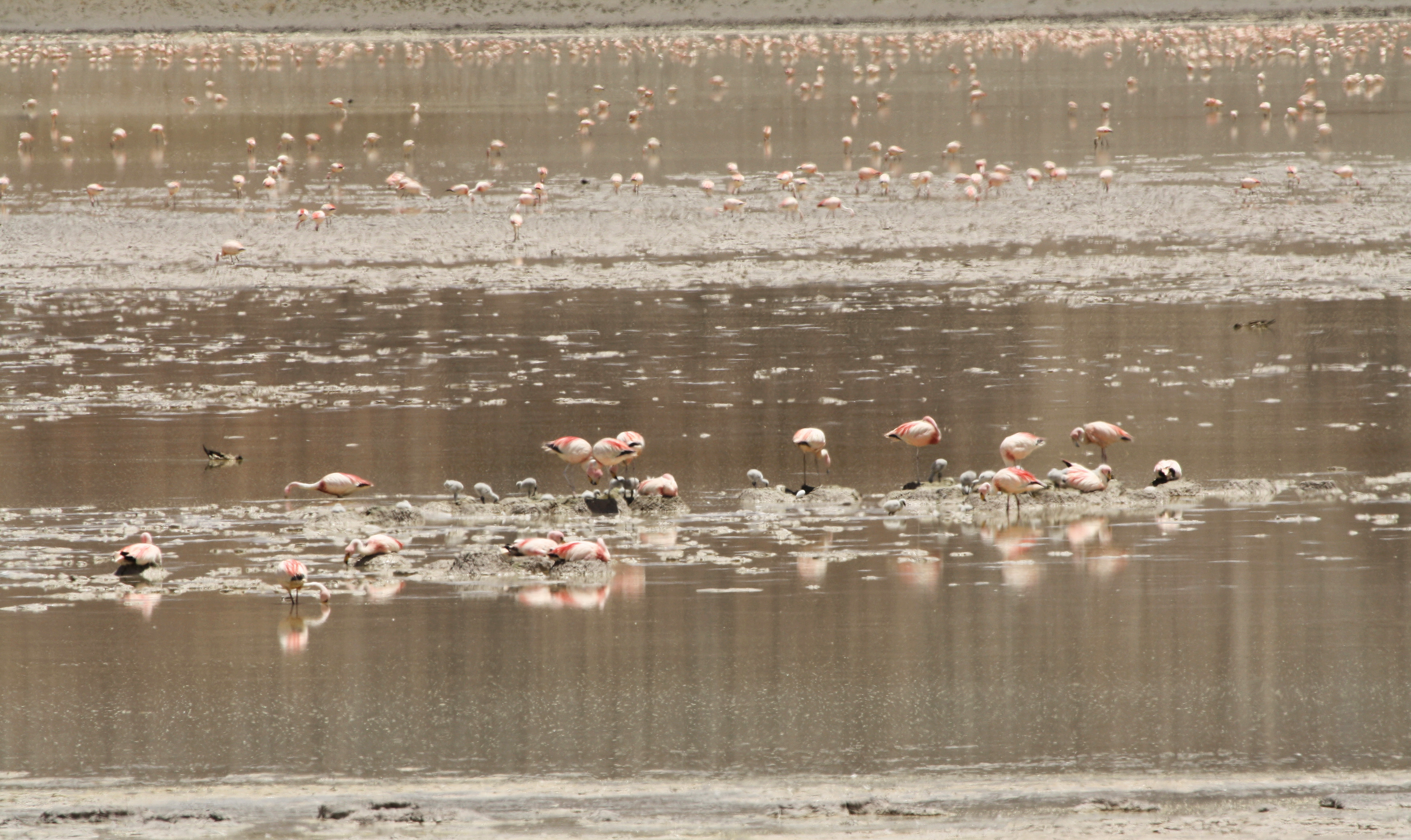 Hundreds of flamingos populate a nesting site where bits of land rise out of the surrounding water.