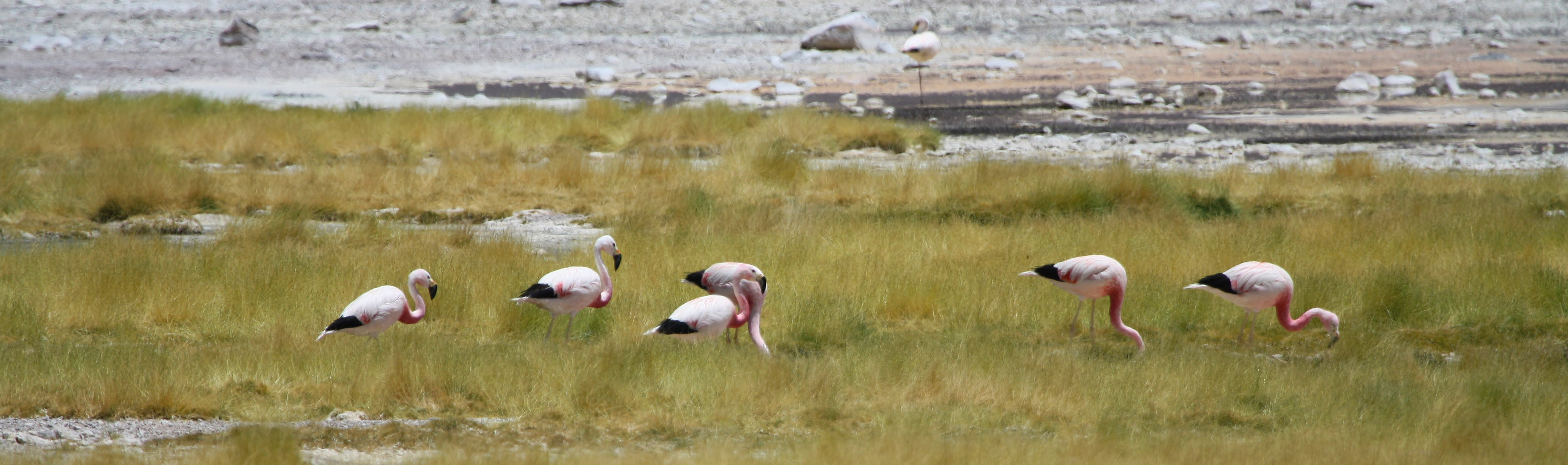 Seven flamingoes graze in a grassy wetland area.