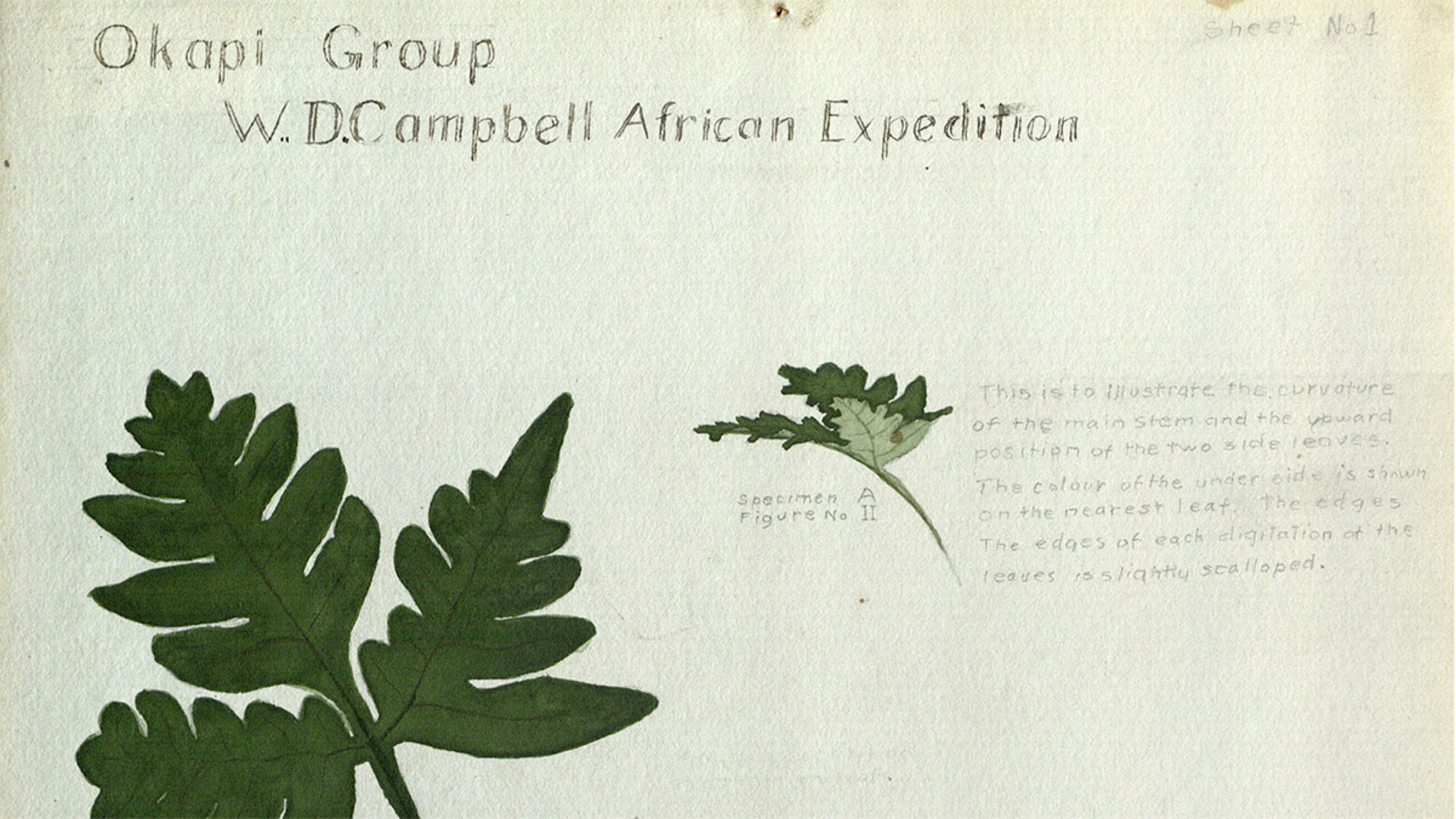 Illustration of leaves with text reading Okapi Group W.D. Campbell African Expedition.