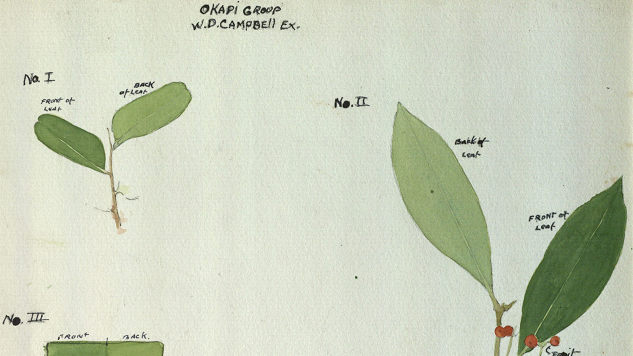 Illustrations of the fronts and backs of plant leaves with text reading Okapi Group, W.D. Campbell.