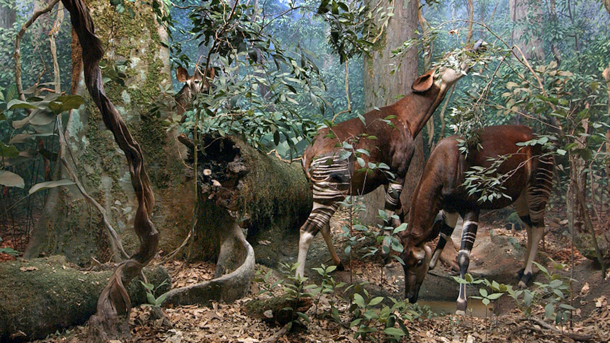 Life-sized models of two Okapi grazing on the leaves on trees in forest setting, while another stands behind them, barely visible through the leaves.