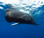 sperm-whale-for-tout