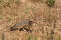 Gray fox, Urocyon cinereoargenteu